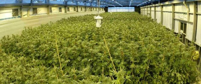 legalizzazione marijuana, negli usa producono biodiesel da marijuana